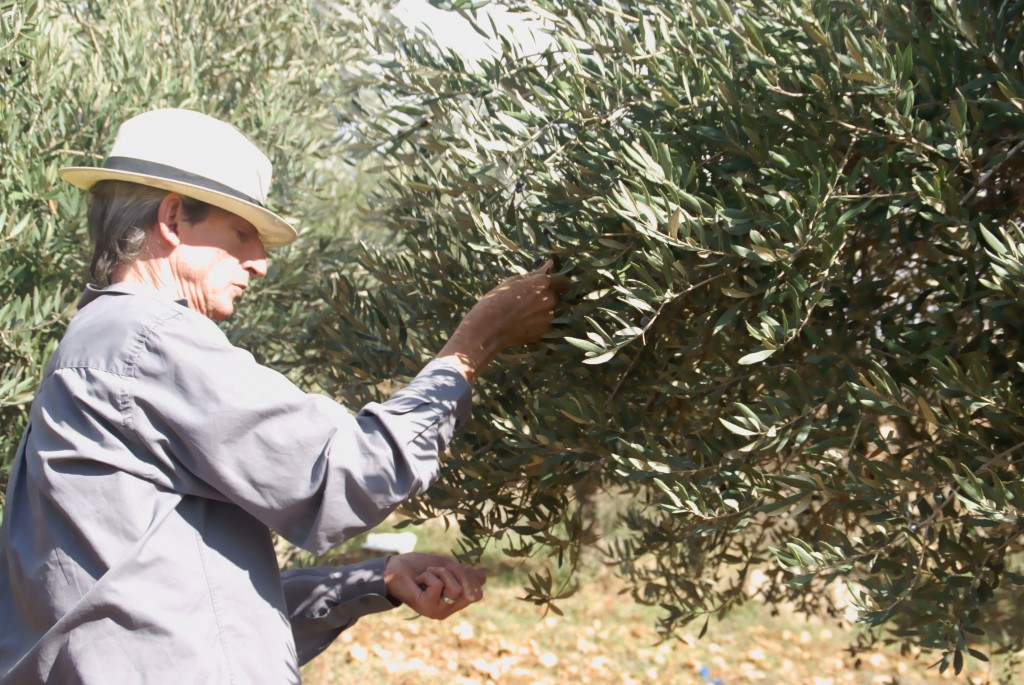 Man picking olives