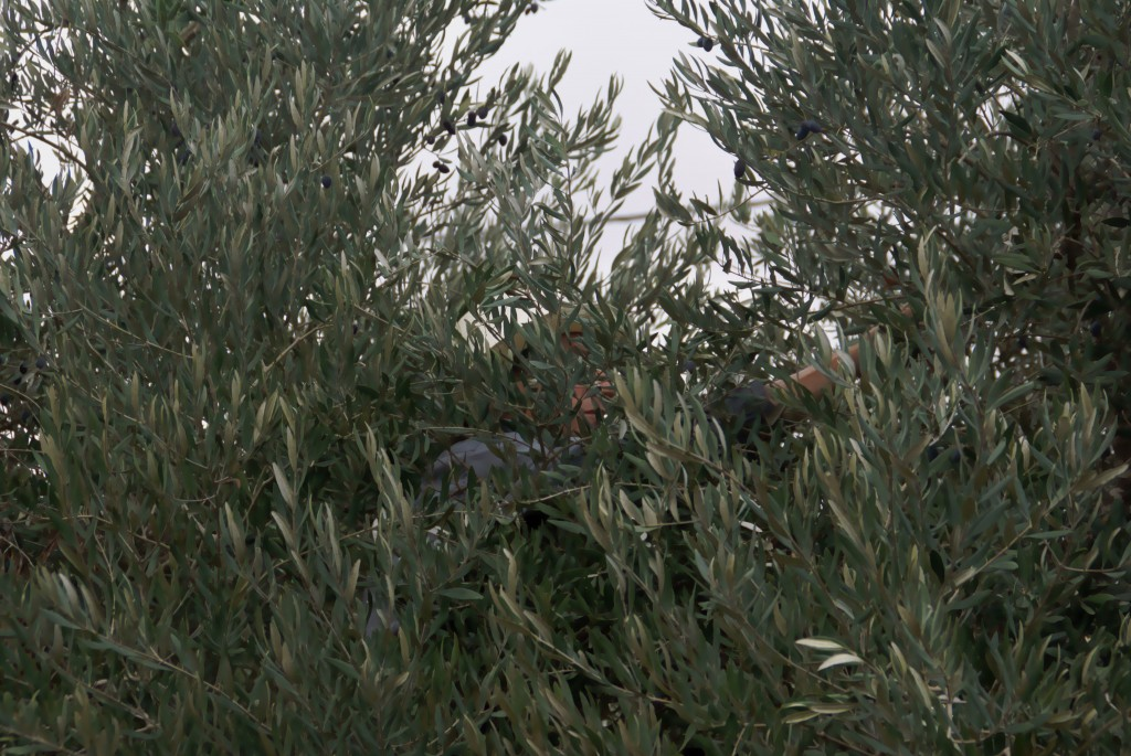 Picking olives from the inside of the tree